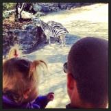 Zebras with Daddy!