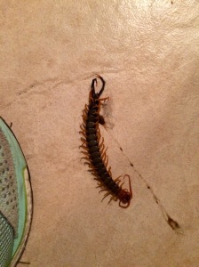 Texas Red Headed Centipede
