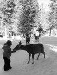 Feeding mule deer