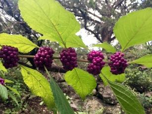 American Beautyberries